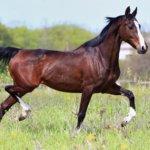 Украинская порода лошадей
