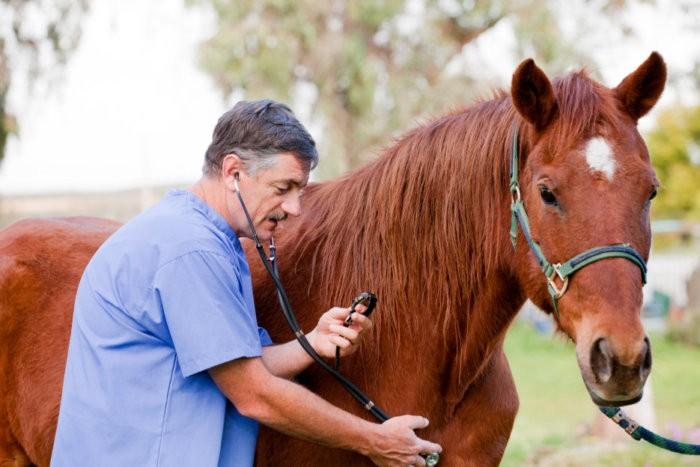 Осмотр лошади ветеринаром