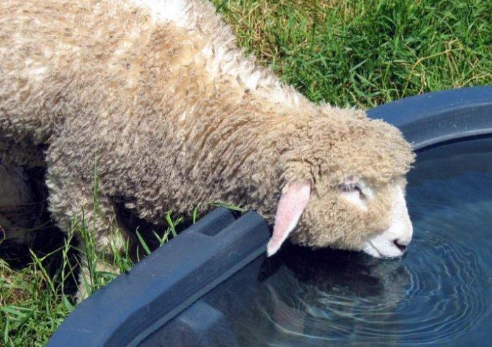 Вода для овец