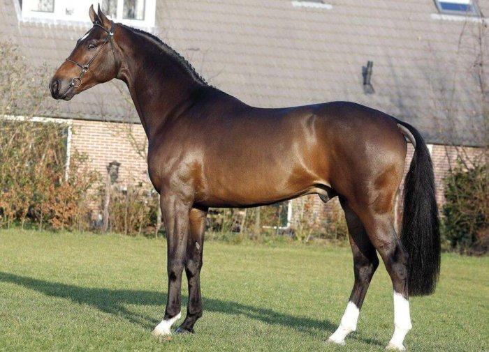 Голландский теплокровный конь