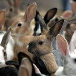Отечественное разведение кроликов