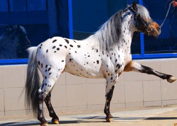 Аппалузская лошадь