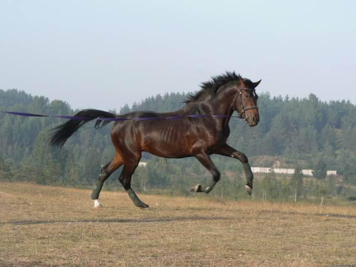 Англо-арабская порода  лошадей