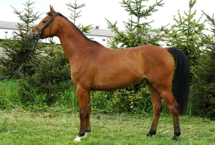 Бельгийская теплокровная лошадь