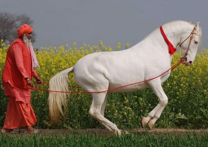 Марварская порода лошадей