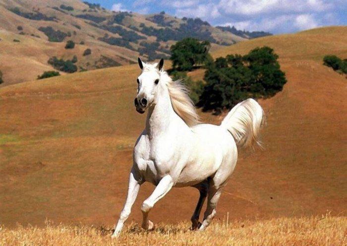 Лошадь породы мустанг
