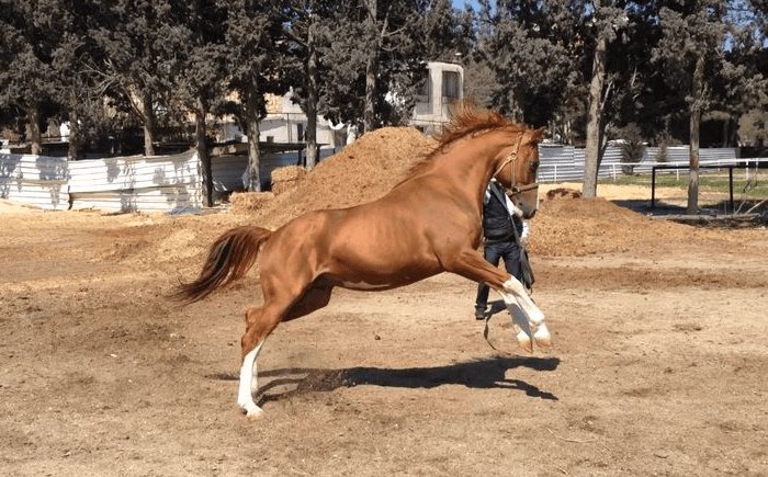 Лошади карабахской породы
