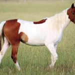 Порода лошадей пинто