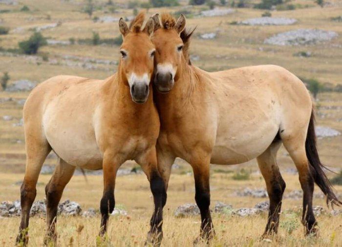 Дикие лошади Пржевальского