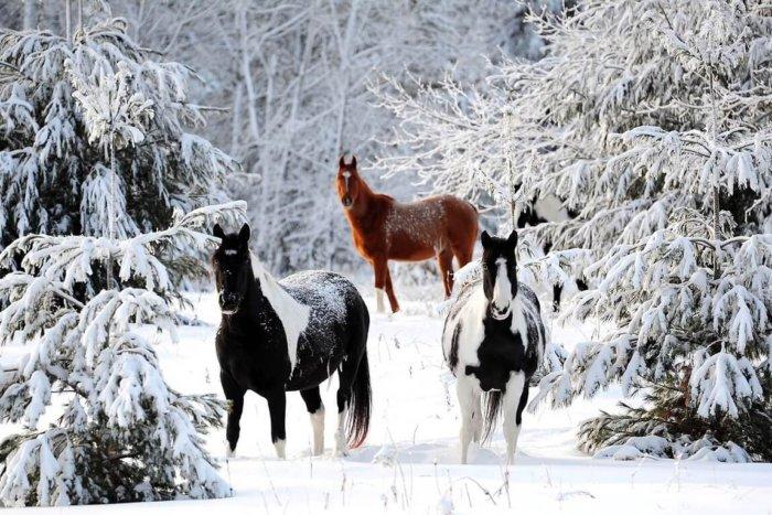 Лошади в зимнем лесу