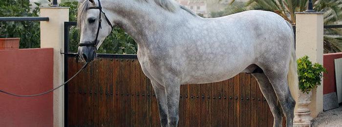 Испанская порода лошадей