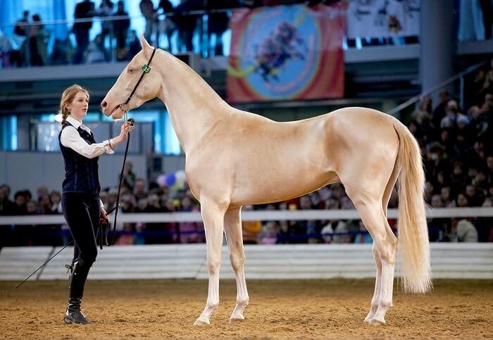 Изабелловая масть лошадей