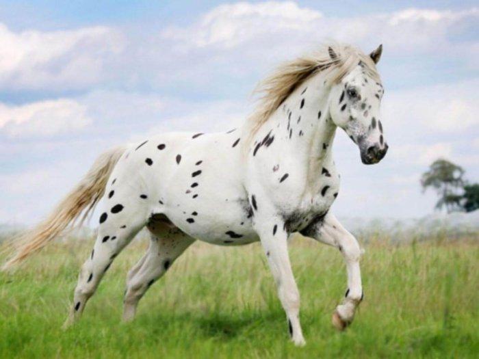 Масть «лошадь в яблоках»