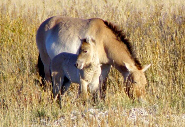 Дикие лошади в природе образуют табуны