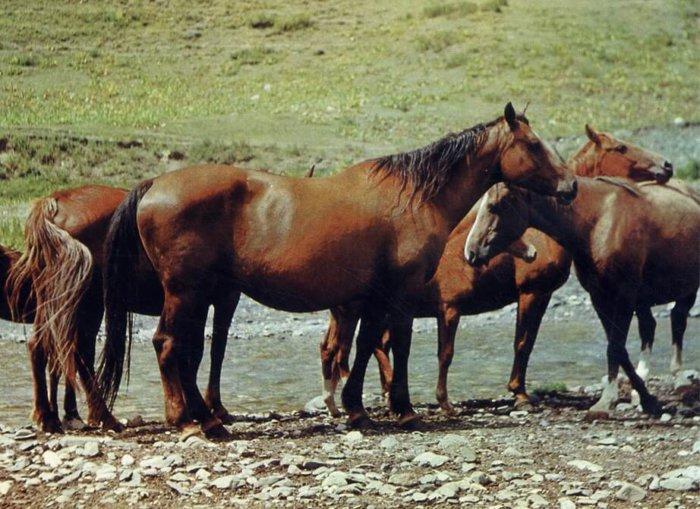 Новокиргизская порода лошадей