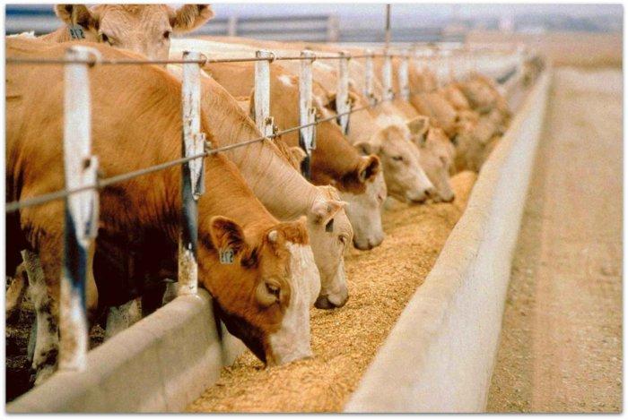 Кормление коров мясо-костной мукой