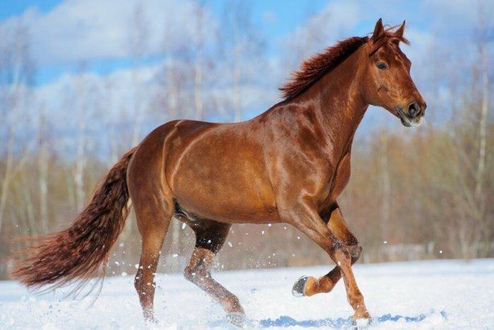 Порода лошадей будённовская