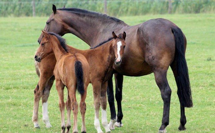 Лошадь с потомством