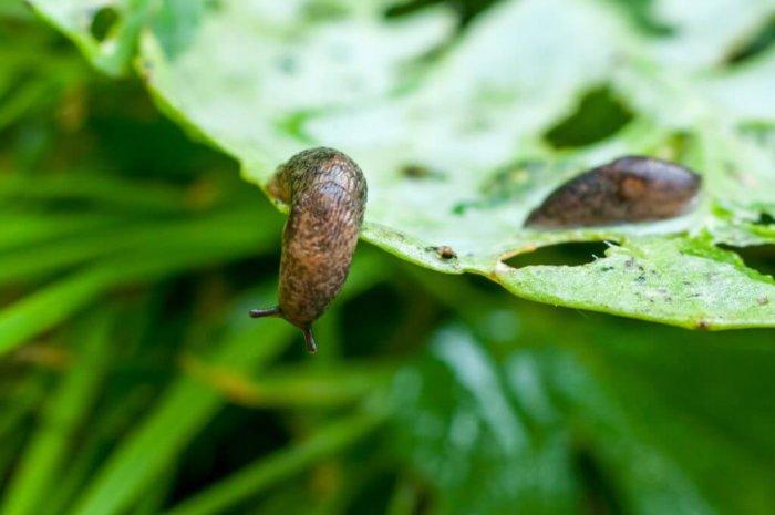 Вредитель капусты слизень