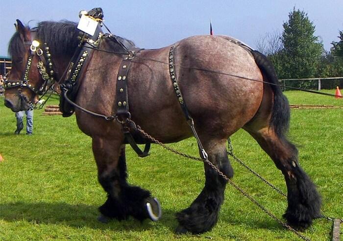 Порода лошадей дестриэ