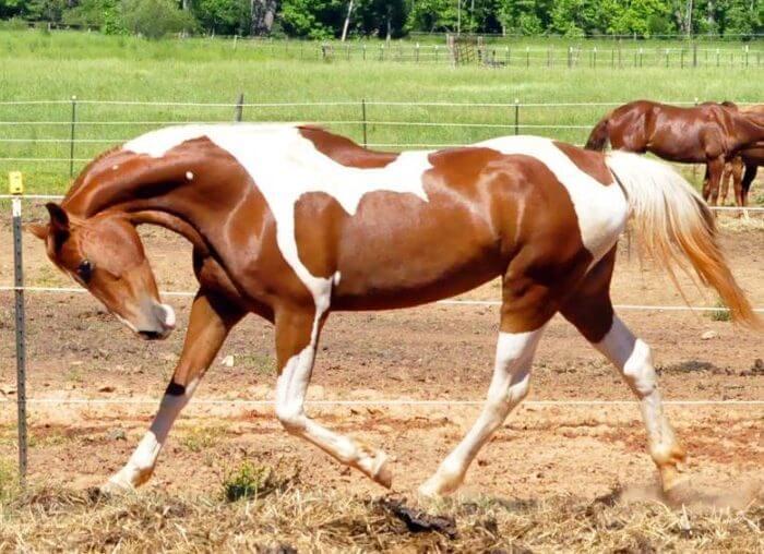 Первая порода лошадей