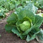Выращивание капусты