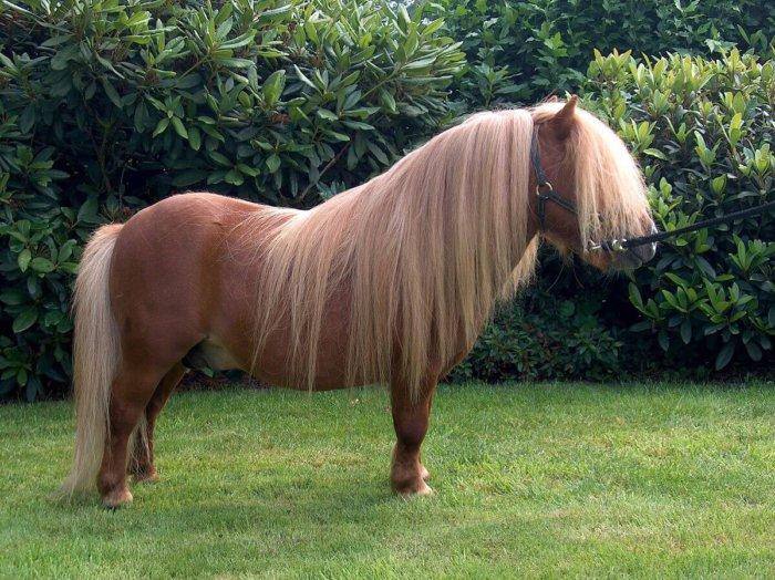 Типичная шетлендская лошадка