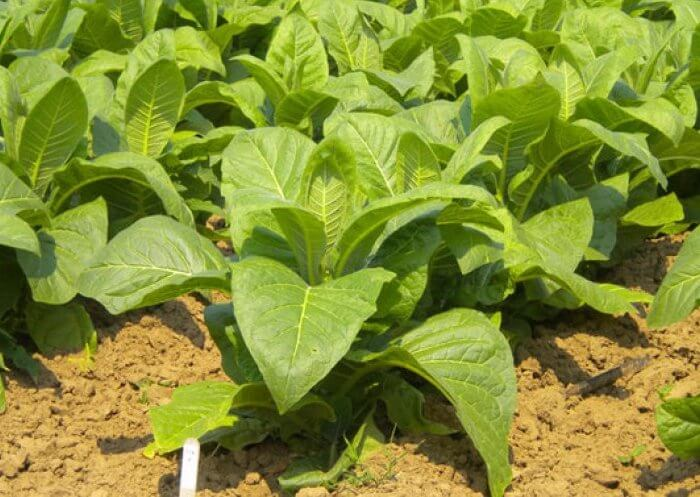 Растение табак