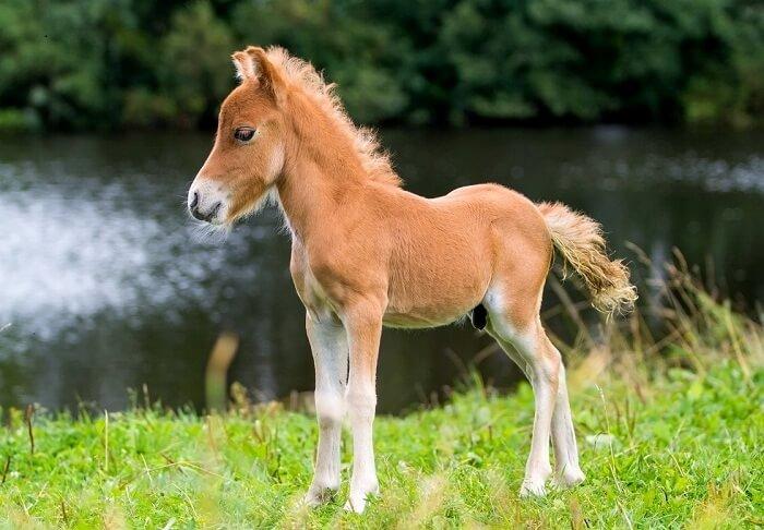 Порода миниатюрных лошадей  Фалабелла