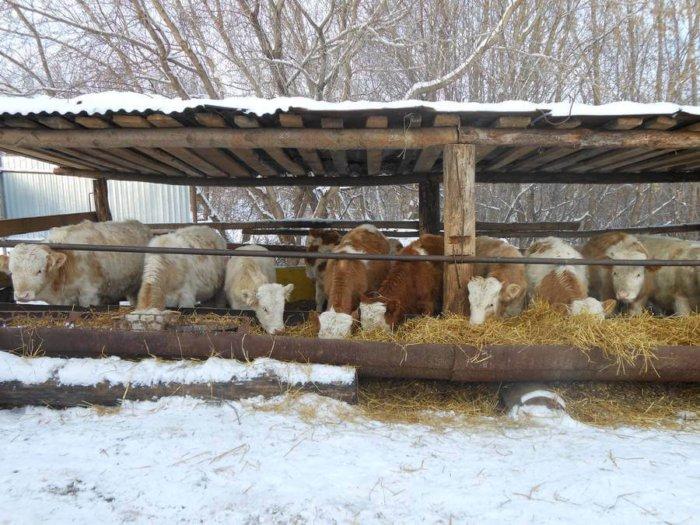 Содержание бычков