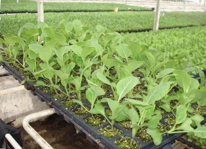 Рассада савойской капусты
