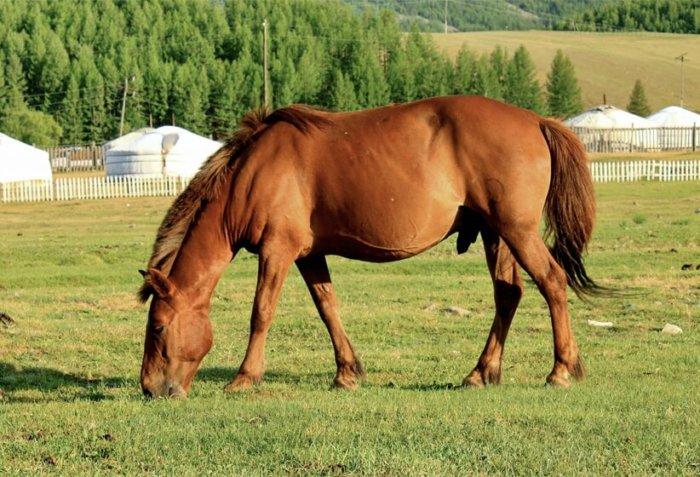 Монгольский скакун