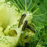 Личинки бабочек на капусте
