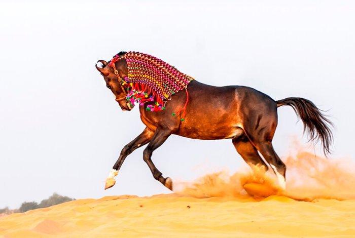 Порода марварские кони