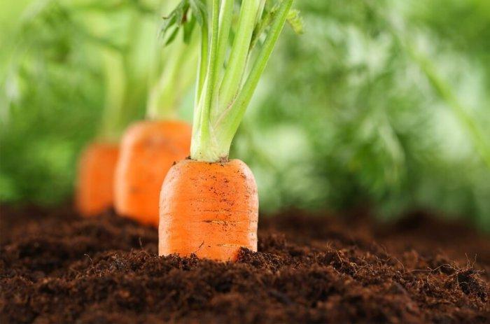 Безопасный предшественник брокколи - морковь