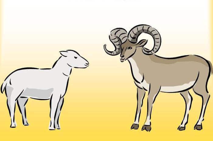 Как выглядят овца и баран