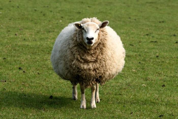 Шубная овца