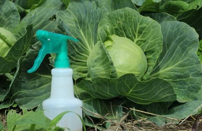Средство для опрыскивания капусты