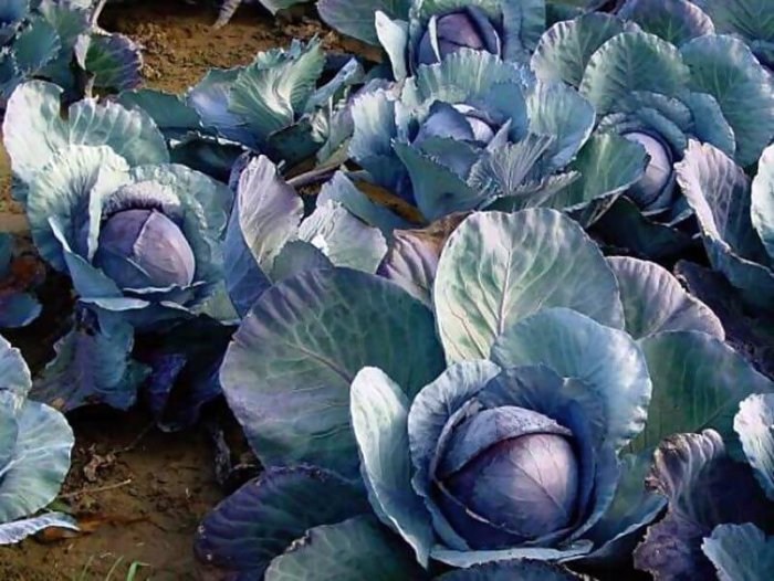Фиолетовые листья на капусте