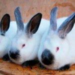 Вес кролика калифорнийской породы