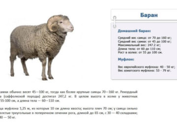 Определение веса овец