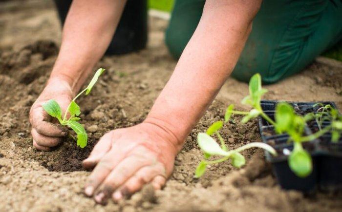Пересадка рассады июньской капусты в грунт