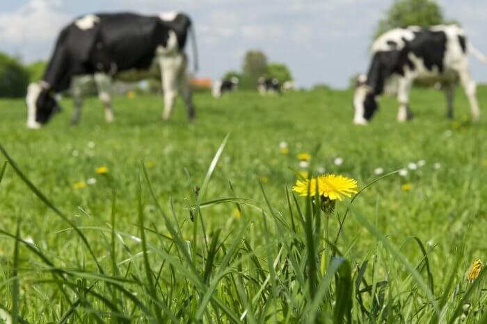 Пастбище коров