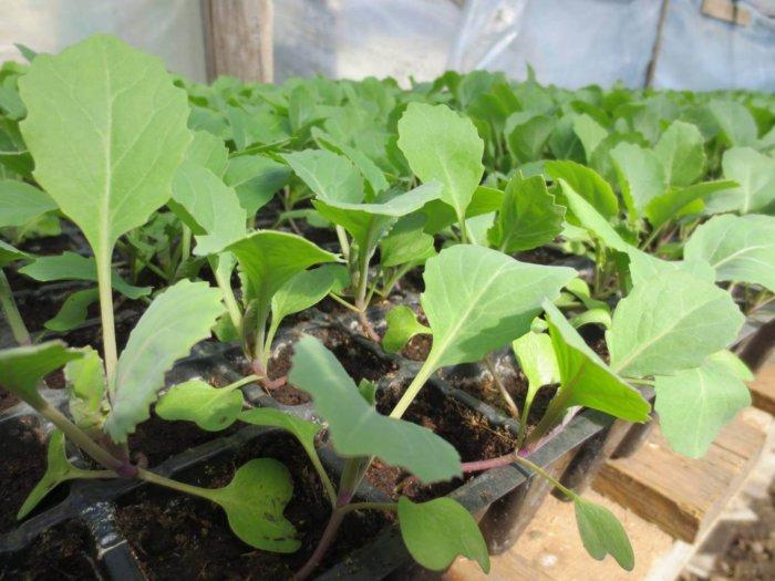 Саженцы капусты