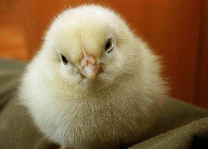 Здоровый цыпленок