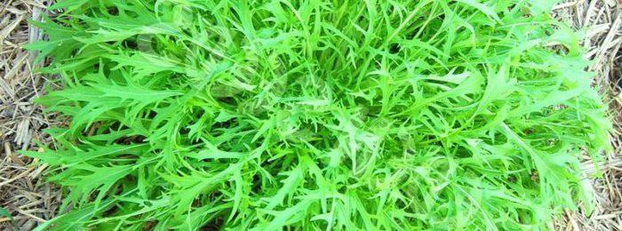 Японская капуста мизуна