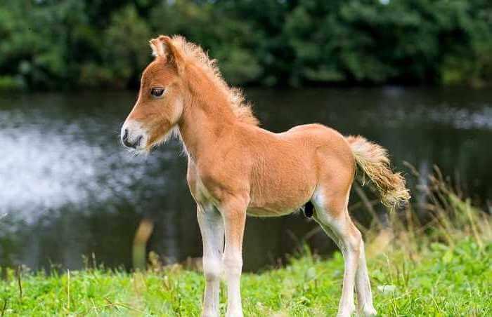 Порода лошадей Фалабелла