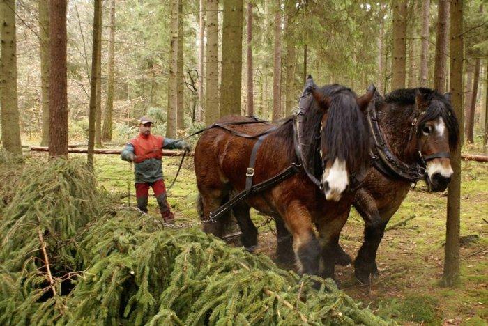 Рабочие лошади в лесу на работе