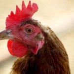 Пастереллёз у куриц