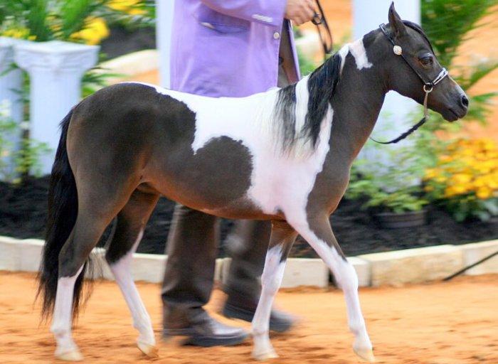 Порода лошадей Американская миниатюрная